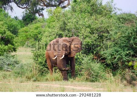 Adult African elephant in the green bush. Murchison falls national park, Uganda