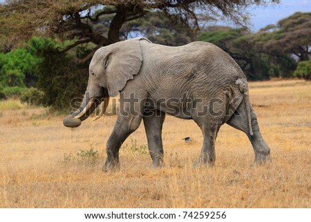 Adult African elephant is walking in the savannah
