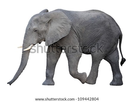 adult african elephant isolated on white - stock photo
