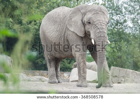 Adult African elephant or Loxodonta africana full length portrait in relaxing pose