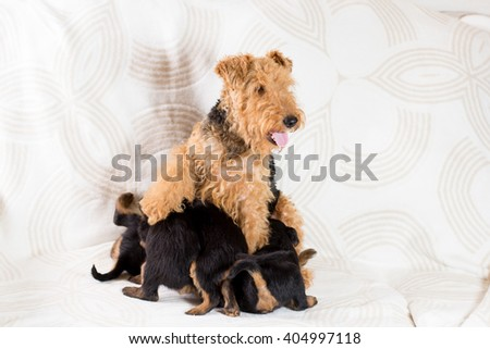 Adult Airedale dog feeds the puppies - stock photo