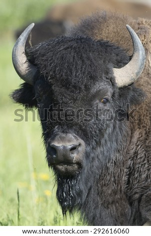 Adult American Bison in Yellowstone National Park - stock photo