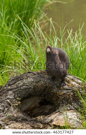 Adult American Mink (Neovison vison) Looks Up - captive animal