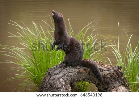 Adult American Mink (Neovison vison) Stands Up on Log - captive animal