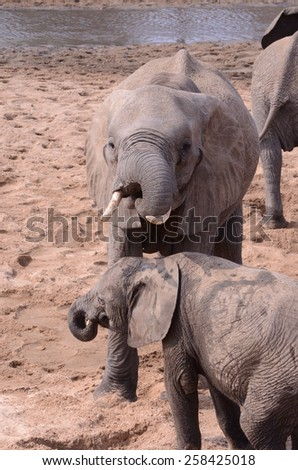 Adult and baby elephant drinking together from hole - stock photo