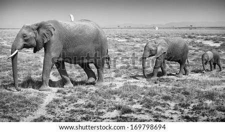 Adult and baby elephants - stock photo