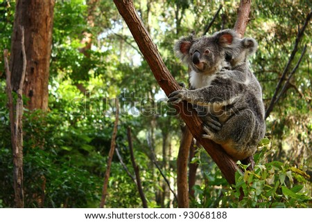 Adult and baby Koala in the wild - stock photo
