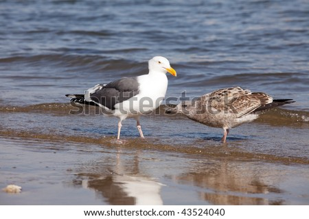 Simply excellent Adult sea gull