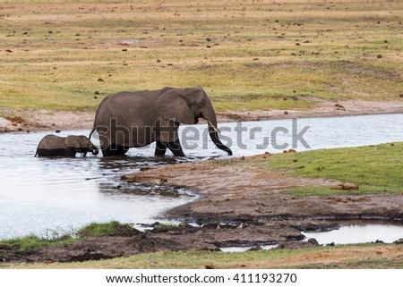 Adult and calf elephant (Loxodonta africana) cross river, Botswana, 2015 - stock photo
