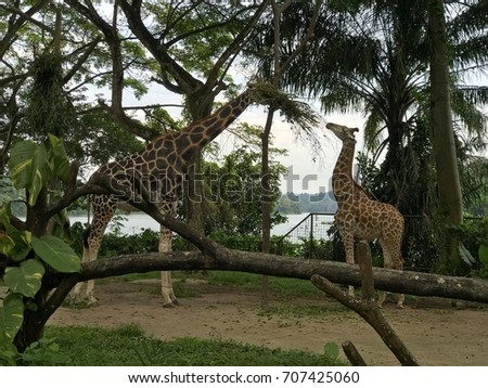 Adult And Calf West African Giraffe Eating Leaves