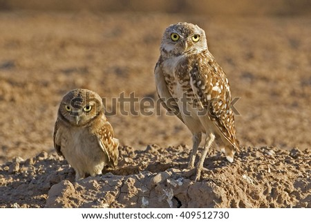 Adult and juvenile Burrowing Owl, Athene cunicularia - stock photo