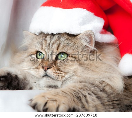 Adult and serious Christmas cat in red Santa Claus cap with red gift and ribbon - stock photo
