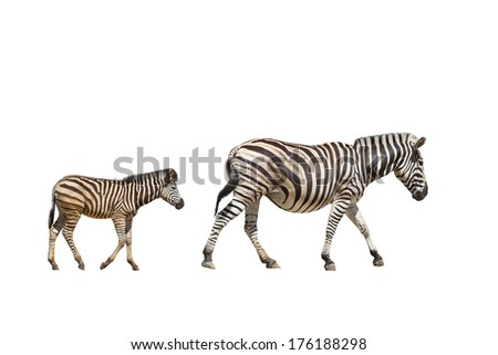 adult and young zebras on white background  - stock photo