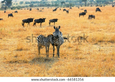 Adult and young zebras standing in the savannah, Kenya - stock photo