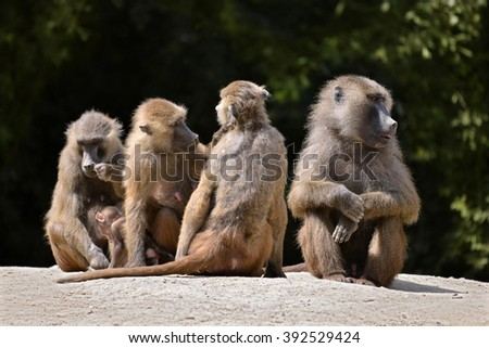 Adult baboons and young (Papio) on the ground - stock photo