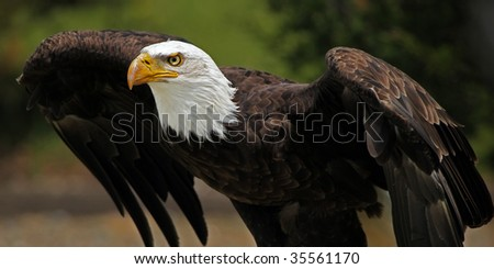 Adult Bald Eagle ready to take-off. - stock photo