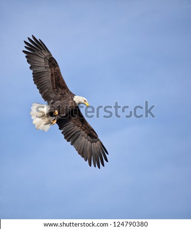 Adult bald eagle with outstretched wings, soars against a clear, blue sky. - stock photo