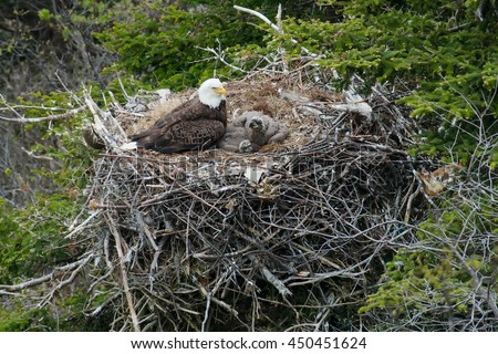 Adult Bald Eagle with two chicks in a nest in a tree on the side of a cliff. - stock photo