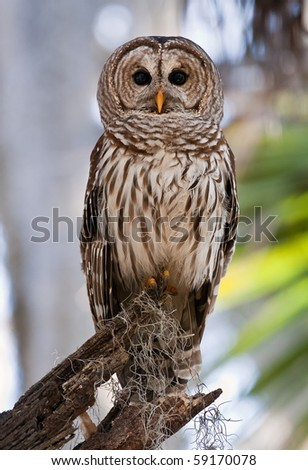 Adult Barred Owl sitting on branch - stock photo