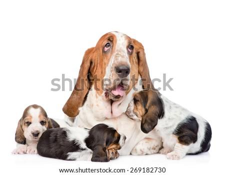 Adult basset hound dog and puppies. isolated on white background - stock photo