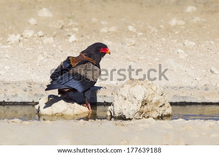 Adult Bataleur Eagle (Terathopius ecaudatus) at a waterhole in the Kalahari Desert, South Africa - stock photo