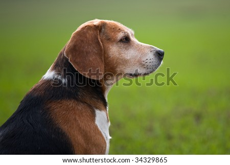 Adult beagle dog in profile