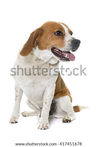 adult beagle in front of white background