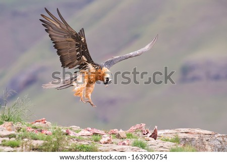 Adult bearded vulture landing on a rock ledge where bones have been placed. - stock photo