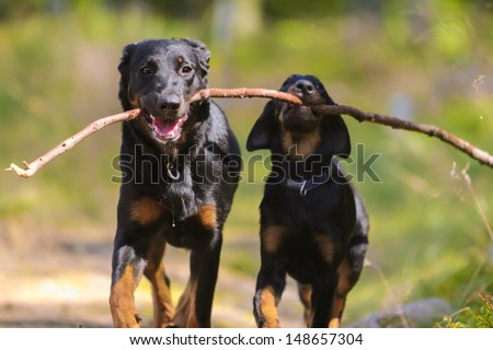 Adult beauceron and beauceron puppy with stick - stock photo