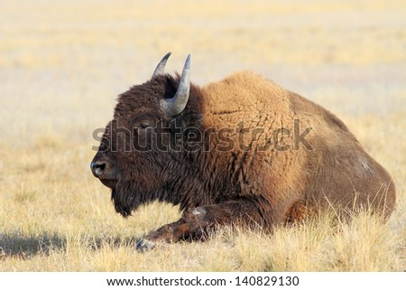 Adult bison lying has a rest in the steppe - stock photo