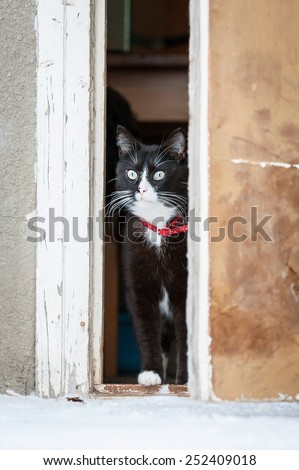 Adult black and white cat going out of the door for a walk - stock photo