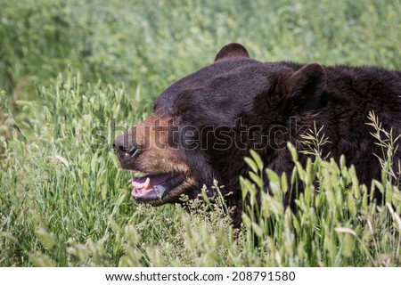 adult black bear walking on spring green grass