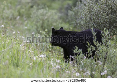 Adult Black Bear With Head Turned - stock photo