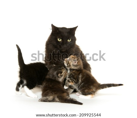 Adult black cat nursing litter of kittens on white background