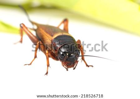adult black cricket over white - stock photo