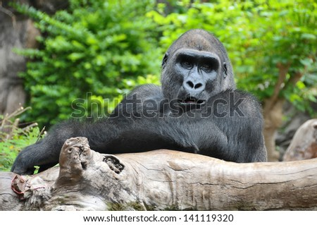 Adult Black Gorilla Resting on a Wooden Pole - stock photo