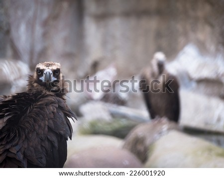 Adult black vulture looking directly at a blurred background with another bird - stock photo