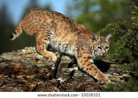Adult Bobcat on a rocky ridge. - stock photo