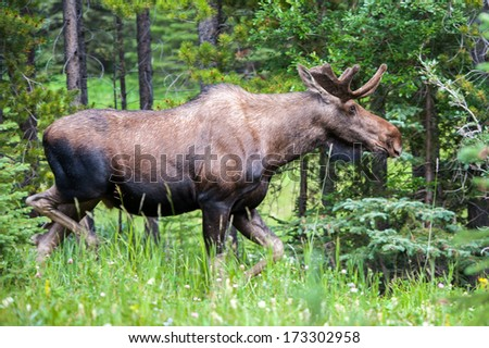 Adult bull moose in the forest with velvet antlers - stock photo