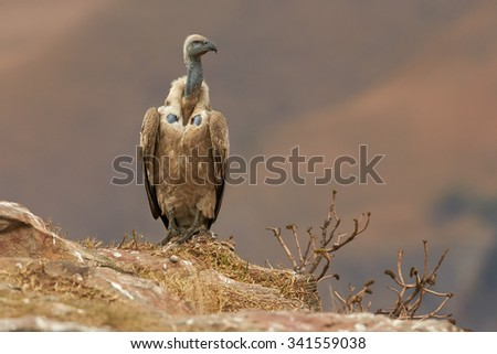 Adult Cape vulture sitting on the edge of the rocks in the morning light with remote orange background - stock photo