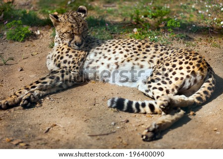 adult cheetah  (Acinonyx jubatus) sleeping over ground