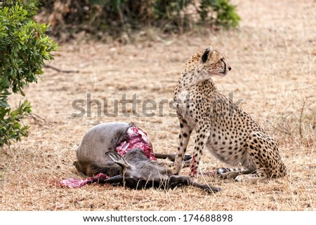 Adult cheetah feasting on wildebeest kill, Masai Mara National Reserve, Kenya, East Africa - stock photo
