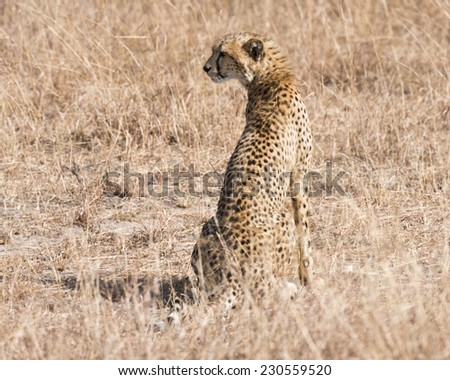 Adult cheetah  in grasslands of  Masai Mara National Reserve, Kenya, East Africa