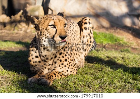 Adult Cheetah sitting on the grass with his tongue out. On a bright, sunny day