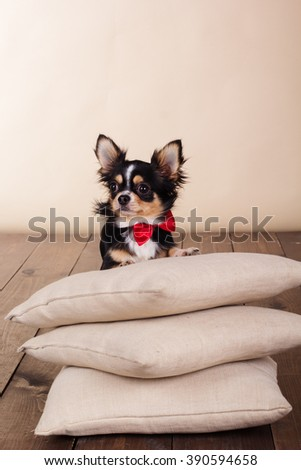 Adult chihuahua dog siting on pillows - stock photo
