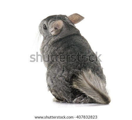 adult chinchilla in front of white background