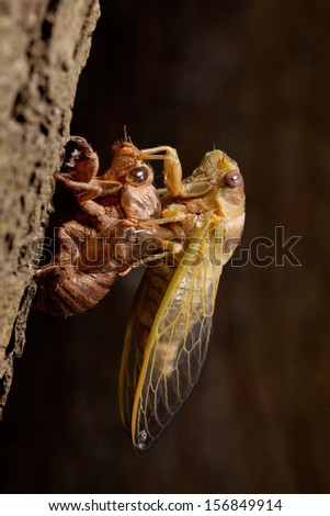Adult Cicada emerging from its last larval skin