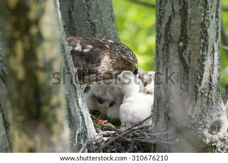 Adult cooper's hawk feeding its chicks in a stick nest in a tree - stock photo