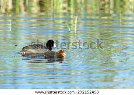 Adult Coot swims with a chick in Alamosa National Wildlife Refuge in Colorado - stock photo