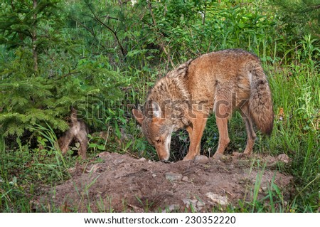 Adult Coyote (Canis latrans) and Pup Sniff About Den - captive animal - stock photo